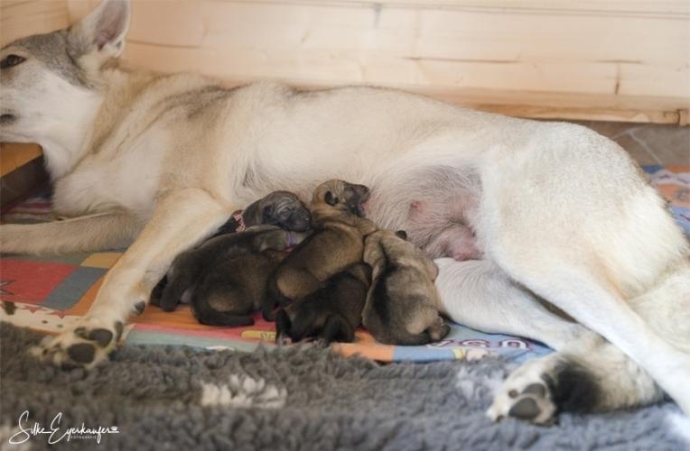 Sechs tschechoslowakische Wolfhund Welpen sind geboren.