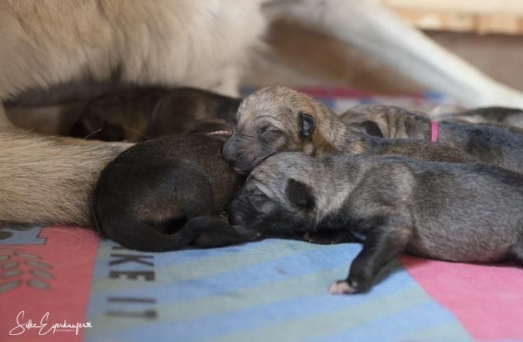 Sechs tschechoslowakische Wolfhund Welpen sind auf der Welt.