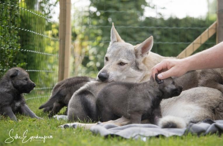 Tschechoslowakische Wolfhund Welpen im Garten.