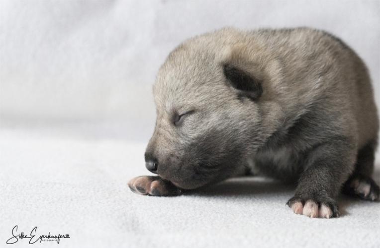 Tschechoslowakische Wolfhund Welpen, 12 Tage alt.