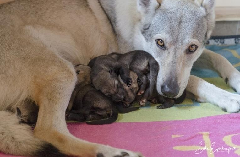 Tschechoslowakische Wolfhund Welpen.