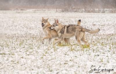 Wolfhunde im Spiel.