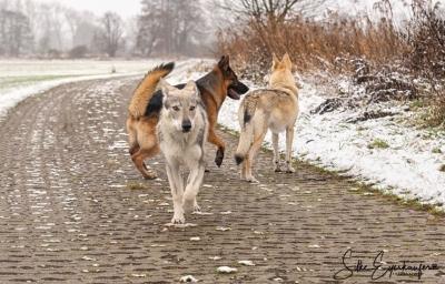 Drei Hunde laufen auf einem Weg.