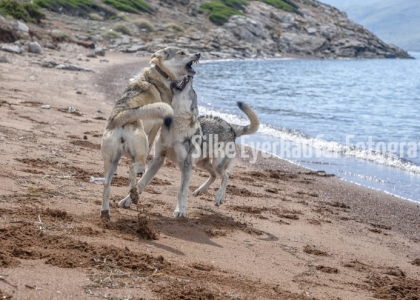 Tschechoslowakische Wolfhunde spielen an einem Sandstrand auf einer griechischen Insel.