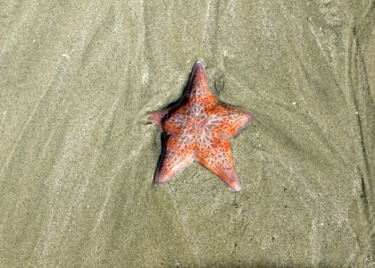 Roter Seestern im Sand, Vancouver Island.
